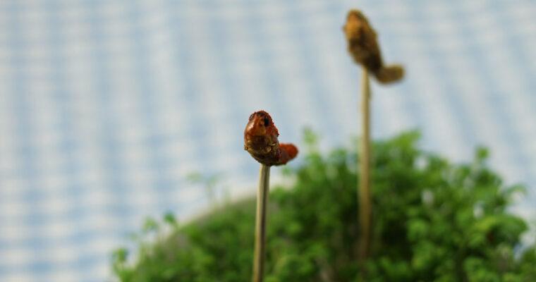 Nytårssnack: Krydrede græshopper