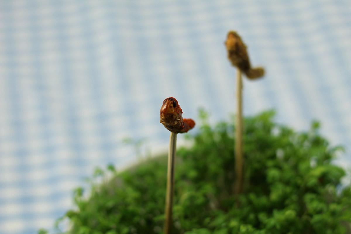 krydrede græshoppere, krydrede græshopper