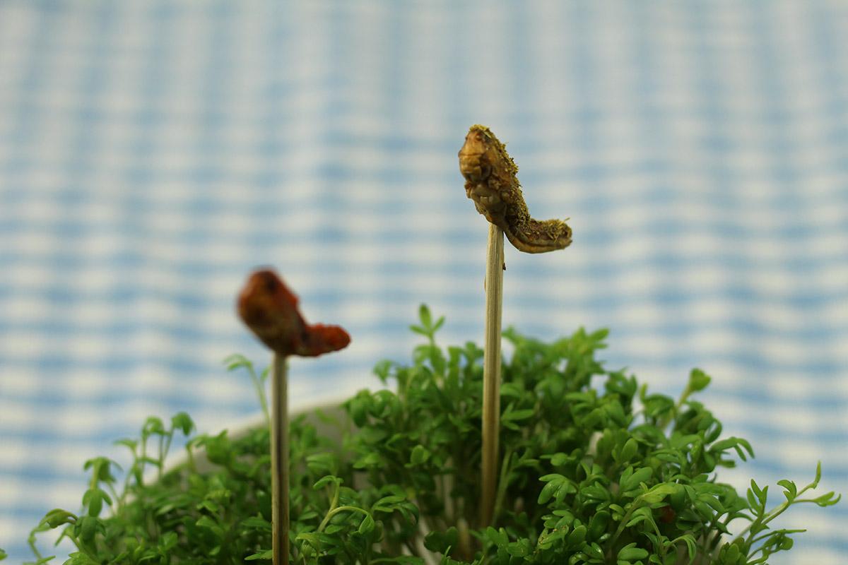 krydrede græshopper, spiselige græshopper